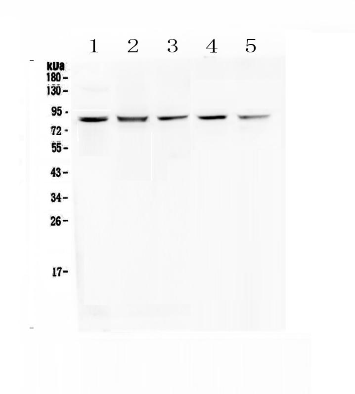 Anti-RNF43 Picoband™ Antibody A01694-1