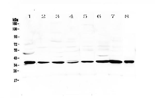 Anti-Thrombopoietin Picoband™ antibody A03222-2