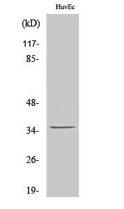 Anti-Nanog P8 Antibody A11849