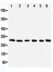 Anti-Apoptosis Repressor With CARD Antibody PA1793