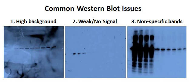 common western blot issues