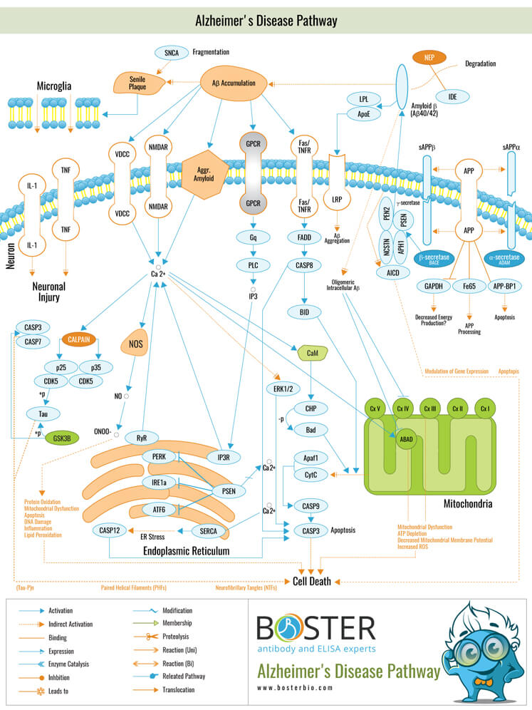 Alzheimers Disease Pathway
