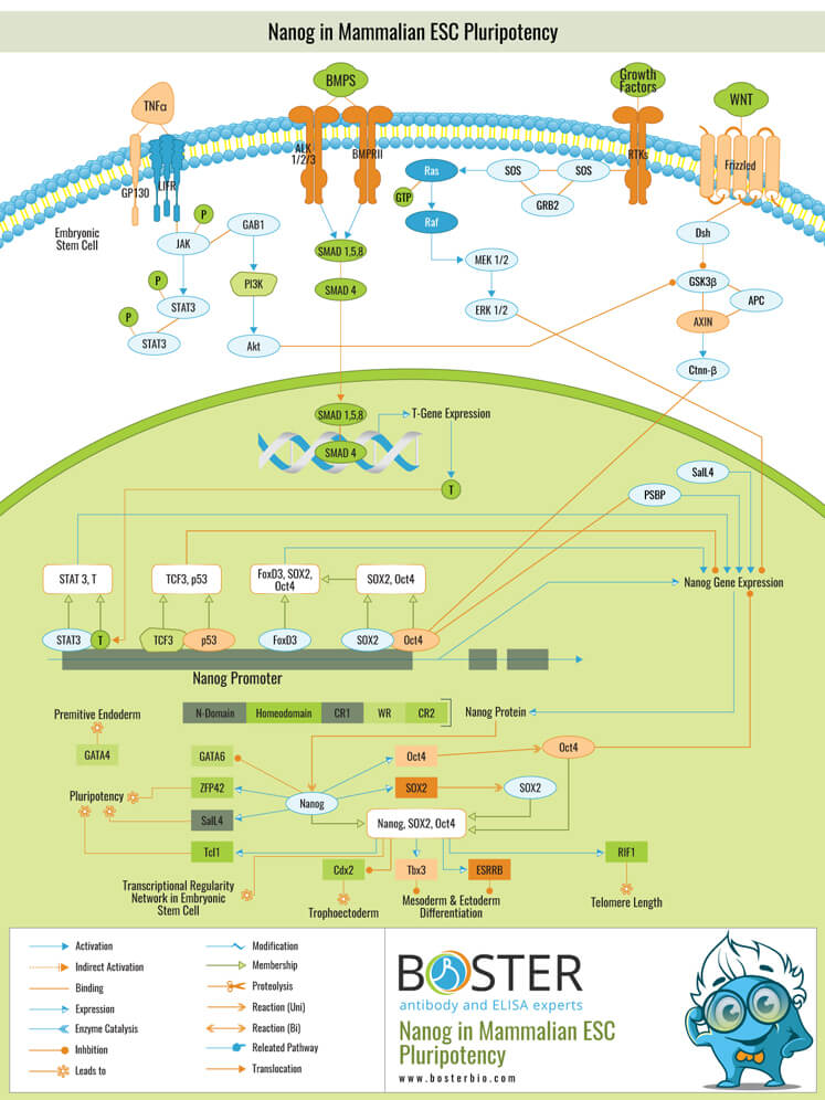 Nanog Mammalian ESC Pluripotency Pathway