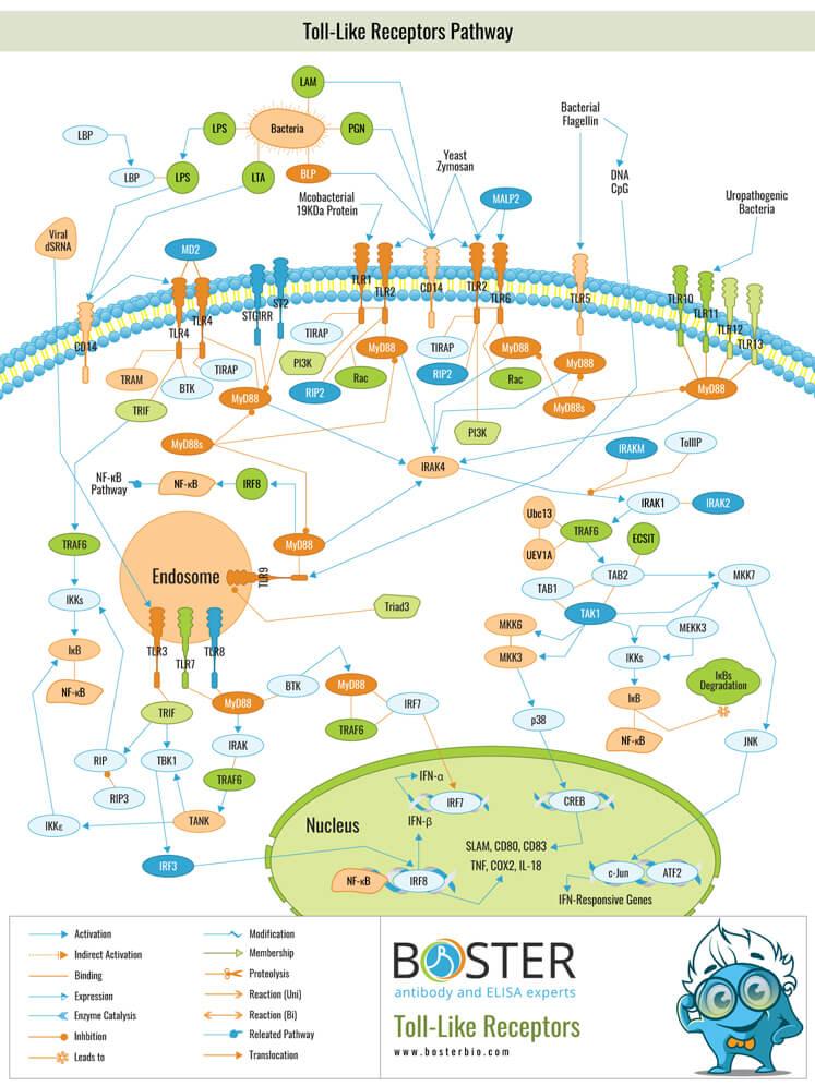 Toll-Like Receptors Pathway