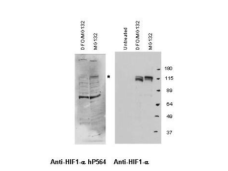 Anti-Hif-1 alpha hydroxy P564 Antibody