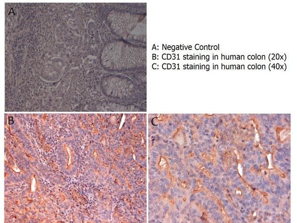 Anti-CD31 Antibody