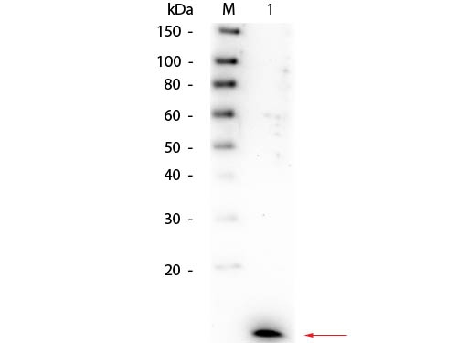 Anti-IL-8 Antibody