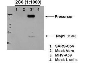 Western blot analysis of MHV-A59 nsp9 expression in SARS-CoV-infected Vero cells (lane 1), negative control (lane 2), infected mouse L cells (lane 3) and negative control (lane 4). MHV-A59 nsp9 was detected using mouse anti-MHV-A59 nsp9 monoclonal antibody (Catalog # M19765). Personal Communication, Eric Snijder, Leiden University Medical Center, Leiden, Netherlands.