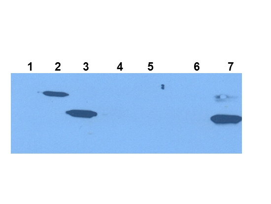 Western blot analysis of IDO1 antibody. Extracts from 293HEK Cells expression in Control Vector (lane 1), His-tagged mouse IDO1 (lane 2), mouse IDO1 (lane 3) His-tagged mouse IDO2 (lane 4), mouse IDO2(Lane 5), Epididymis from IDO null(Lane 6) and wild type mice(Lane 7). IDO1 at 41-42KD was detected using mouse anti- IDO1 Antigen Affinity purified monoclonal antibody (Catalog # M01705). The blot was developed using chemiluminescence (ECL) method (Catalog # EK1001).