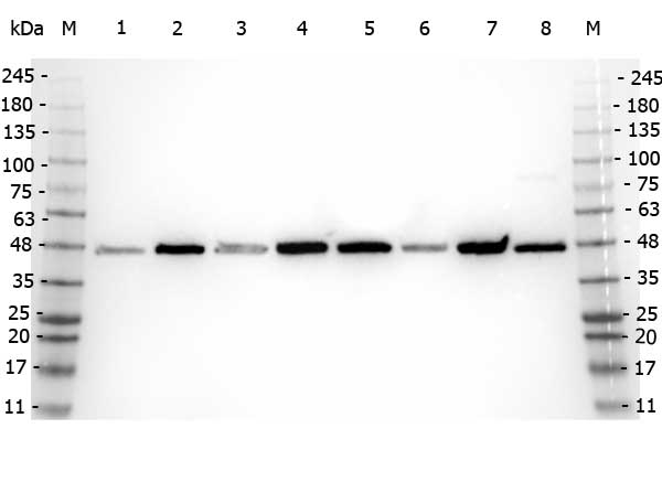 Western blot analysis of Beta Amyloid expression in HEK293 whole cell lysates (lane 1), HeLa Lysate whole cell lysates (lane 2), MCF-7 cell lysates (lane 3), Jurkat cell lysates (lane 4), A431 cell lysates (lane 5), LNCaP cell lysates (lane 6), A-172 cell lysates (lane 7) and NIH/3T3 cell lysates (lane 8). Beta Amyloid at 40 kDa was detected using rabbit anti-Beta Amyloid affinity purified polyclonal antibody (Catalog # A00081-2) at 1:5,000. The blot was developed using chemiluminescence (ECL) method (Catalog # EK1002).