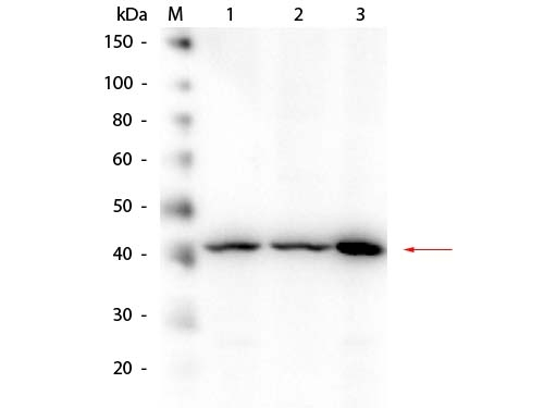 Western blot analysis of Beta Amyloid expression in HEK293 whole cell lysates (lane 1), mouse brain whole cell lysates (lane 2) and A-172 whole cell lysates (lane 3). Beta Amyloid at 40 kDa was detected using rabbit anti-Beta Amyloid affinity purified polyclonal antibody (Catalog # A00081-2) at 1:1,000. The blot was developed using chemiluminescence (ECL) method (Catalog # EK1002).