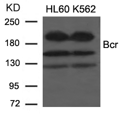 Figure 1. Western blot analysis of BCR using anti-BCR antibody (A00022-1).<br>Electrophoresis was performed on a 5-20% SDS-PAGE gel at 70V (Stacking gel) / 90V (Resolving gel) for 2-3 hours. The sample well of each lane was loaded with 50ug of sample under reducing conditions. <br>After Electrophoresis, proteins were transferred to a Nitrocellulose membrane at 150mA for 50-90 minutes. Blocked the membrane with 5% Non-fat Milk/ TBS for 1.5 hour at RT. The membrane was incubated with rabbit anti-BCR antigen affinity purified polyclonal antibody (Catalog # A00022-1) at 0.5 ug/mL overnight at 4°C, then washed with TBS-0.1%Tween 3 times with 5 minutes each and probed with a goat anti-Rabbit IgG-HRP secondary antibody at a dilution of 1:10000 for 1.5 hour at RT. The signal is developed using an Enhanced Chemiluminescent detection (ECL) kit (Catalog # SA1022) with Tanon 5200 system. A specific band was detected for BCR.