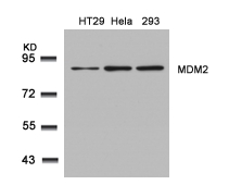 Figure 1. Western blot analysis of MDM2 using anti-MDM2 antibody (A00054-1).<br>Electrophoresis was performed on a 5-20% SDS-PAGE gel at 70V (Stacking gel) / 90V (Resolving gel) for 2-3 hours. The sample well of each lane was loaded with 50ug of sample under reducing conditions. <br>After Electrophoresis, proteins were transferred to a Nitrocellulose membrane at 150mA for 50-90 minutes. Blocked the membrane with 5% Non-fat Milk/ TBS for 1.5 hour at RT. The membrane was incubated with rabbit anti-MDM2 antigen affinity purified polyclonal antibody (Catalog # A00054-1) at 0.5 ug/mL overnight at 4°C, then washed with TBS-0.1%Tween 3 times with 5 minutes each and probed with a goat anti-Rabbit IgG-HRP secondary antibody at a dilution of 1:10000 for 1.5 hour at RT. The signal is developed using an Enhanced Chemiluminescent detection (ECL) kit (Catalog # SA1022) with Tanon 5200 system. A specific band was detected for MDM2.