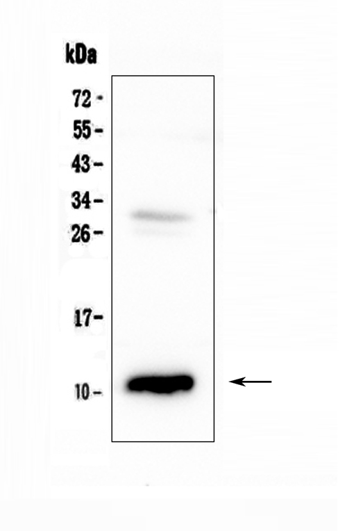 Figure 1. Western blot analysis of CCL2 using anti-CCL2 antibody (A00056-4).  <br>Electrophoresis was performed on a 5-20% SDS-PAGE gel at 70V (Stacking gel) / 90V (Resolving gel) for 2-3 hours. The sample well of each lane was loaded with 50ug of sample under reducing conditions.  <br>Lane 1: rat pancreas tissue lysates.  <br>After Electrophoresis, proteins were transferred to a Nitrocellulose membrane at 150mA for 50-90 minutes. Blocked the membrane with 5% Non-fat Milk/ TBS for 1.5 hour at RT. The membrane was incubated with rabbit anti-CCL2 antigen affinity purified polyclonal antibody (Catalog # A00056-4) at 0.5 μg/mL overnight at 4°C, then washed with TBS-0.1%Tween 3 times with 5 minutes each and probed with a goat anti-rabbit IgG-HRP secondary antibody at a dilution of 1:10000 for 1.5 hour at RT. The signal is developed using an Enhanced Chemiluminescent detection (ECL) kit (Catalog # EK1002) with Tanon 5200 system. A specific band was detected for CCL2 at approximately 11KD. The expected band size for CCL2 is at 11KD.