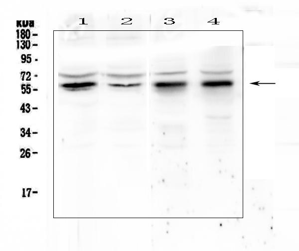Figure 1. Western blot analysis of KLF4 using anti-KLF4 antibody (A00120). <br>Electrophoresis was performed on a 5-20% SDS-PAGE gel at 70V (Stacking gel) / 90V (Resolving gel) for 2-3 hours. The sample well of each lane was loaded with 50ug of sample under reducing conditions. <br>Lane 1: human Hela whole cell lysates,<br>Lane 2: human COLO-320 whole cell lysates,<br>Lane 3: rat stomach tissue lysates, <br>Lane 4: rat testis tissue lysates. <br>After Electrophoresis, proteins were transferred to a Nitrocellulose membrane at 150mA for 50-90 minutes. Blocked the membrane with 5% Non-fat Milk/ TBS for 1.5 hour at RT. The membrane was incubated with rabbit anti-KLF4 antigen affinity purified polyclonal antibody (Catalog # A00120) at 0.5 ?g/mL overnight at 4?C, then washed with TBS-0.1%Tween 3 times with 5 minutes each and probed with a goat anti-rabbit IgG-HRP secondary antibody at a dilution of 1:10000 for 1.5 hour at RT. The signal is developed using an Enhanced Chemiluminescent detection (ECL) kit (Catalog # EK1002) with Tanon 5200 system. A specific band was detected for KLF4 at approximately 60KD. The expected band size for KLF4 is at 55KD.