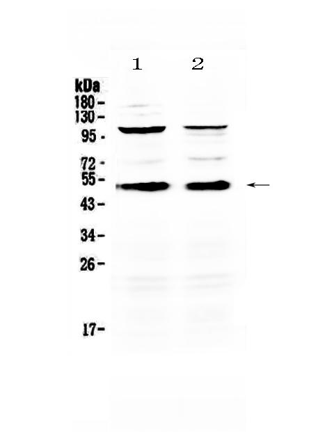 Anti-CD14 Picoband™ Antibody