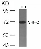 Figure 1. Western blot analysis of PTPN11 using anti-PTPN11 antibody (A00150).<br>Electrophoresis was performed on a 5-20% SDS-PAGE gel at 70V (Stacking gel) / 90V (Resolving gel) for 2-3 hours. The sample well of each lane was loaded with 50ug of sample under reducing conditions. <br>After Electrophoresis, proteins were transferred to a Nitrocellulose membrane at 150mA for 50-90 minutes. Blocked the membrane with 5% Non-fat Milk/ TBS for 1.5 hour at RT. The membrane was incubated with rabbit anti-PTPN11 antigen affinity purified polyclonal antibody (Catalog # A00150) at 0.5 ug/mL overnight at 4°C, then washed with TBS-0.1%Tween 3 times with 5 minutes each and probed with a goat anti-Rabbit IgG-HRP secondary antibody at a dilution of 1:10000 for 1.5 hour at RT. The signal is developed using an Enhanced Chemiluminescent detection (ECL) kit (Catalog # SA1022) with Tanon 5200 system. A specific band was detected for PTPN11.