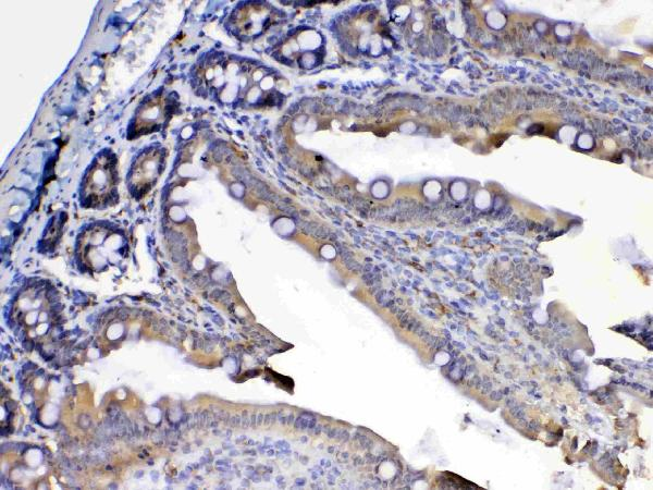 Figure 5. IHC analysis of Flt3 / CD135 using anti-Flt3 / CD135 antibody (A00188-4).<br>Flt3 / CD135 was detected in paraffin-embedded section of rat small intestine tissue. Heat mediated antigen retrieval was performed in citrate buffer (pH6, epitope retrieval solution) for 20 mins. The tissue section was blocked with 10% goat serum. The tissue section was then incubated with 1ug/ml rabbit anti-Flt3 / CD135 Antibody (A00188-4) overnight at 4?? Biotinylated goat anti-rabbit IgG was used as secondary antibody and incubated for 30 minutes at 37?? The tissue section was developed using Strepavidin-Biotin-Complex (SABC)(Catalog # SA1022) with DAB as the chromogen. <br>