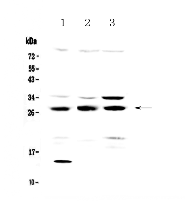 Figure 1. Western blot analysis of TPMT using anti-TPMT antibody (A00671-1).  <br>Electrophoresis was performed on a 5-20% SDS-PAGE gel at 70V (Stacking gel) / 90V (Resolving gel) for 2-3 hours. The sample well of each lane was loaded with 50ug of sample under reducing conditions.  <br>Lane 1: human SGC-7901 whole cell lysates, <br>Lane 2: rat testis tissue lysates,<br>Lane 3: mouse testis tissue lysates.  <br>After Electrophoresis, proteins were transferred to a Nitrocellulose membrane at 150mA for 50-90 minutes. Blocked the membrane with 5% Non-fat Milk/ TBS for 1.5 hour at RT. The membrane was incubated with rabbit anti-TPMT antigen affinity purified polyclonal antibody (Catalog # A00671-1) at 0.5 μg/mL overnight at 4°C, then washed with TBS-0.1%Tween 3 times with 5 minutes each and probed with a goat anti-rabbit IgG-HRP secondary antibody at a dilution of 1:10000 for 1.5 hour at RT. The signal is developed using an Enhanced Chemiluminescent detection (ECL) kit (Catalog # EK1002) with Tanon 5200 system. A specific band was detected for TPMT at approximately 28KD. The expected band size for TPMT is at 28KD.