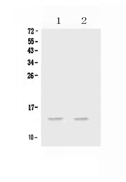 Figure 1. Western blot analysis of MIP-3 Alpha/CCL20 using anti-MIP-3 Alpha/CCL20 antibody (A00748-2). <br>Electrophoresis was performed on a 5-20% SDS-PAGE gel at 70V (Stacking gel) / 90V (Resolving gel) for 2-3 hours. The sample well of each lane was loaded with 50ug of sample under reducing conditions. <br>Lane 1: rat testis tissue lysates,<br>Lane 2: mouse testis tissue lysates. <br>After Electrophoresis, proteins were transferred to a Nitrocellulose membrane at 150mA for 50-90 minutes. Blocked the membrane with 5% Non-fat Milk/ TBS for 1.5 hour at RT. The membrane was incubated with rabbit anti-MIP-3 Alpha/CCL20 antigen affinity purified polyclonal antibody (Catalog # A00748-2) at 0.5 ug/mL overnight at 4?? then washed with TBS-0.1%Tween 3 times with 5 minutes each and probed with a goat anti-rabbit IgG-HRP secondary antibody at a dilution of 1:10000 for 1.5 hour at RT. The signal is developed using an Enhanced Chemiluminescent detection (ECL) kit (Catalog # EK1002) with Tanon 5200 system. A specific band was detected for MIP-3 Alpha/CCL20 at approximately 14KD. The expected band size for MIP-3 Alpha/CCL20 is at 14KD.