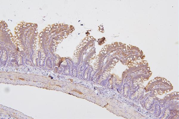 Figure 2. IHC analysis of PRKCD using anti-PRKCD antibody (A00822-1). <br> PRKCD was detected in paraffin-embedded section of rat intestine tissues. Heat mediated antigen retrieval was performed in citrate buffer (pH6, epitope retrieval solution) for 20 mins. The tissue section was blocked with 10% goat serum. The tissue section was then incubated with 1μg/ml rabbit anti-PRKCD Antibody (A00822-1) overnight at 4°C. Biotinylated goat anti-rabbit IgG was used as secondary antibody and incubated for 30 minutes at 37°C. The tissue section was developed using Strepavidin-Biotin-Complex (SABC)(Catalog # SA1022) with DAB as the chromogen.