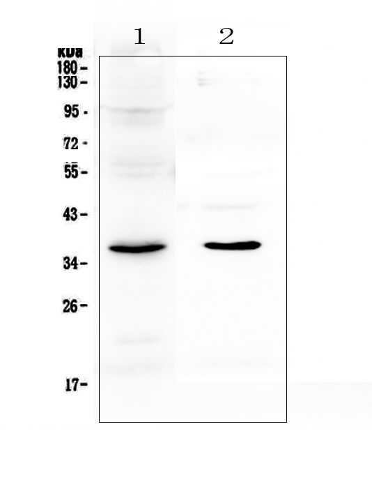 Figure 1. Western blot analysis of SPARC using anti-SPARC antibody (A00862-2).  <br>Electrophoresis was performed on a 5-20% SDS-PAGE gel at 70V (Stacking gel) / 90V (Resolving gel) for 2-3 hours. The sample well of each lane was loaded with 50ug of sample under reducing conditions.  <br>Lane 1: rat lung tissue lysates,<br>Lane 2: mouse lung tissue lysates.  <br>After Electrophoresis, proteins were transferred to a Nitrocellulose membrane at 150mA for 50-90 minutes. Blocked the membrane with 5% Non-fat Milk/ TBS for 1.5 hour at RT. The membrane was incubated with rabbit anti-SPARC antigen affinity purified polyclonal antibody (Catalog # A00862-2) at 0.5 μg/mL overnight at 4°C, then washed with TBS-0.1%Tween 3 times with 5 minutes each and probed with a goat anti-rabbit IgG-HRP secondary antibody at a dilution of 1:10000 for 1.5 hour at RT. The signal is developed using an Enhanced Chemiluminescent detection (ECL) kit (Catalog # EK1002) with Tanon 5200 system. A specific band was detected for SPARC at approximately 37KD. The expected band size for SPARC is at 35KD.