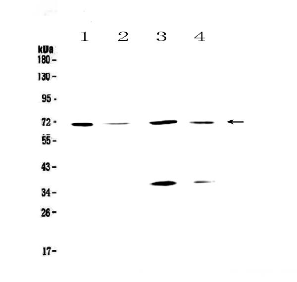 Figure 1. Western blot analysis of DNA Polymerase lambda using anti-DNA Polymerase lambda antibody (A00959-2).  <br>Electrophoresis was performed on a 5-20% SDS-PAGE gel at 70V (Stacking gel) / 90V (Resolving gel) for 2-3 hours. The sample well of each lane was loaded with 50ug of sample under reducing conditions.  <br>Lane 1: human Hela whole cell lysates, <br>Lane 2: human COLO-320 whole cell lysates, <br>Lane 3: human MCF-7 whole cell lysates, <br>Lane 4: human HepG2 whole cell lysates.  <br>After Electrophoresis, proteins were transferred to a Nitrocellulose membrane at 150mA for 50-90 minutes. Blocked the membrane with 5% Non-fat Milk/ TBS for 1.5 hour at RT. The membrane was incubated with rabbit anti-DNA Polymerase lambda antigen affinity purified polyclonal antibody (Catalog # A00959-2) at 0.5 μg/mL overnight at 4°C, then washed with TBS-0.1%Tween 3 times with 5 minutes each and probed with a goat anti-rabbit IgG-HRP secondary antibody at a dilution of 1:10000 for 1.5 hour at RT. The signal is developed using an Enhanced Chemiluminescent detection (ECL) kit (Catalog # EK1002) with Tanon 5200 system. A specific band was detected for DNA Polymerase lambda at approximately 70KD. The expected band size for DNA Polymerase lambda is at 63KD.