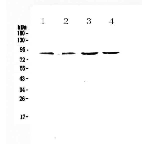 Figure 1. Western blot analysis of TBR2/Eomes using anti-TBR2/Eomes antibody (A00992-1).  <br>Electrophoresis was performed on a 5-20% SDS-PAGE gel at 70V (Stacking gel) / 90V (Resolving gel) for 2-3 hours. The sample well of each lane was loaded with 50ug of sample under reducing conditions.  <br>Lane 1: rat spleen tissue lysates,<br>Lane 2: rat thymus tissue lysates,<br>Lane 3: mouse spleen tissue lysates,<br>Lane 4: mouse thymus tissue lysates.  <br>After Electrophoresis, proteins were transferred to a Nitrocellulose membrane at 150mA for 50-90 minutes. Blocked the membrane with 5% Non-fat Milk/ TBS for 1.5 hour at RT. The membrane was incubated with rabbit anti-TBR2/Eomes antigen affinity purified polyclonal antibody (Catalog # A00992-1) at 0.5 μg/mL overnight at 4°C, then washed with TBS-0.1%Tween 3 times with 5 minutes each and probed with a goat anti-rabbit IgG-HRP secondary antibody at a dilution of 1:10000 for 1.5 hour at RT. The signal is developed using an Enhanced Chemiluminescent detection (ECL) kit (Catalog # EK1002) with Tanon 5200 system. A specific band was detected for TBR2/Eomes at approximately 85KD. The expected band size for TBR2/Eomes is at 73KD.