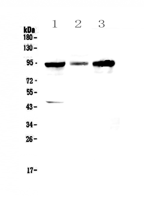 Figure 1. Western blot analysis of GNS using anti-GNS antibody (A00999-1).  <br>Electrophoresis was performed on a 5-20% SDS-PAGE gel at 70V (Stacking gel) / 90V (Resolving gel) for 2-3 hours. The sample well of each lane was loaded with 50ug of sample under reducing conditions.  <br>Lane 1: human HepG2 whole cell lysates, <br>Lane 2: human PANC-1 whole cell lysates, <br>Lane 3: human SGC-7901 whole cell lysates.  <br>After Electrophoresis, proteins were transferred to a Nitrocellulose membrane at 150mA for 50-90 minutes. Blocked the membrane with 5% Non-fat Milk/ TBS for 1.5 hour at RT. The membrane was incubated with rabbit anti-GNS antigen affinity purified polyclonal antibody (Catalog # A00999-1) at 0.5 μg/mL overnight at 4°C, then washed with TBS-0.1%Tween 3 times with 5 minutes each and probed with a goat anti-rabbit IgG-HRP secondary antibody at a dilution of 1:10000 for 1.5 hour at RT. The signal is developed using an Enhanced Chemiluminescent detection (ECL) kit (Catalog # EK1002) with Tanon 5200 system. A specific band was detected for GNS at approximately 90KD. The expected band size for GNS is at 62KD.