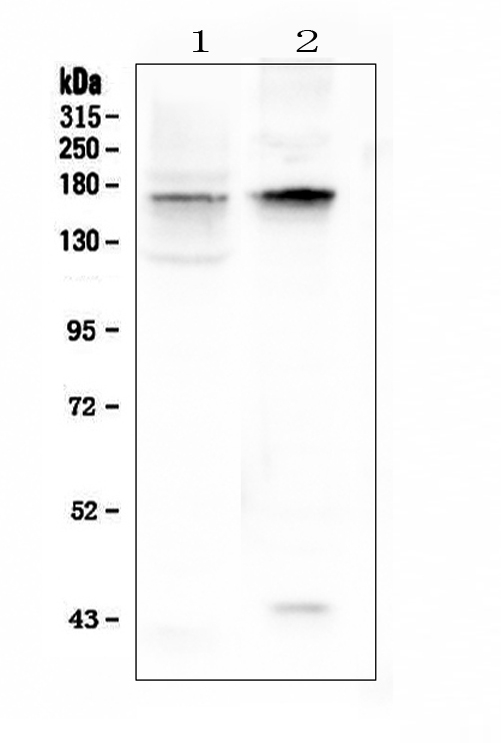 Figure 1. Western blot analysis of KCNH1 using anti-KCNH1 antibody (A01036-3).  <br>Electrophoresis was performed on a 5-20% SDS-PAGE gel at 70V (Stacking gel) / 90V (Resolving gel) for 2-3 hours. The sample well of each lane was loaded with 50ug of sample under reducing conditions.  <br>Lane 1: rat brain tissue lysates,<br>Lane 2: mouse brain tissue lysates.  <br>After Electrophoresis, proteins were transferred to a Nitrocellulose membrane at 150mA for 50-90 minutes. Blocked the membrane with 5% Non-fat Milk/ TBS for 1.5 hour at RT. The membrane was incubated with rabbit anti-KCNH1 antigen affinity purified polyclonal antibody (Catalog # A01036-3) at 0.5 μg/mL overnight at 4°C, then washed with TBS-0.1%Tween 3 times with 5 minutes each and probed with a goat anti-rabbit IgG-HRP secondary antibody at a dilution of 1:10000 for 1.5 hour at RT. The signal is developed using an Enhanced Chemiluminescent detection (ECL) kit (Catalog # EK1002) with Tanon 5200 system. A specific band was detected for KCNH1 at approximately 160KD. The expected band size for KCNH1 is at 111KD.
