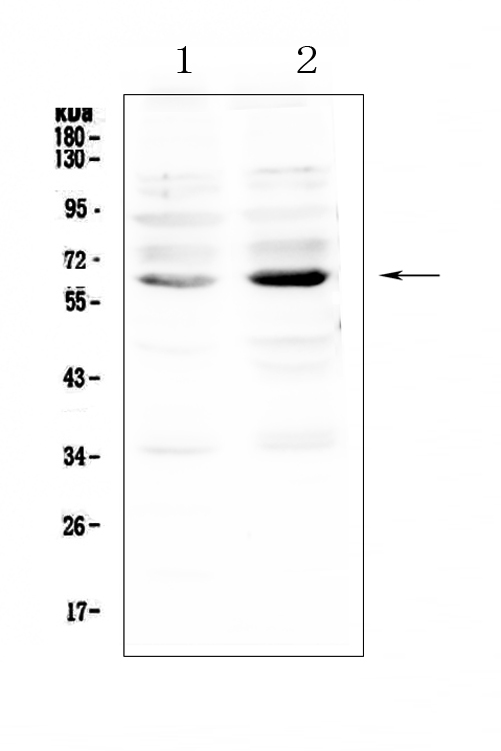 Figure 1. Western blot analysis of NRF1 using anti-NRF1 antibody (A01129-2). <br>Electrophoresis was performed on a 5-20% SDS-PAGE gel at 70V (Stacking gel) / 90V (Resolving gel) for 2-3 hours. The sample well of each lane was loaded with 50ug of sample under reducing conditions. <br>Lane 1: human K562 whole cell lysate,<br>Lane 2: human MDA-MB-231 whole cell lysate. <br>After Electrophoresis, proteins were transferred to a Nitrocellulose membrane at 150mA for 50-90 minutes. Blocked the membrane with 5% Non-fat Milk/ TBS for 1.5 hour at RT. The membrane was incubated with rabbit anti-NRF1 antigen affinity purified polyclonal antibody (Catalog # A01129-2) at 0.5 μg/mL overnight at 4°C, then washed with TBS-0.1%Tween 3 times with 5 minutes each and probed with a goat anti-rabbit IgG-HRP secondary antibody at a dilution of 1:10000 for 1.5 hour at RT. The signal is developed using an Enhanced Chemiluminescent detection (ECL) kit (Catalog # EK1002) with Tanon 5200 system. A specific band was detected for NRF1 at approximately 65KD. The expected band size for NRF1 is at 54KD.