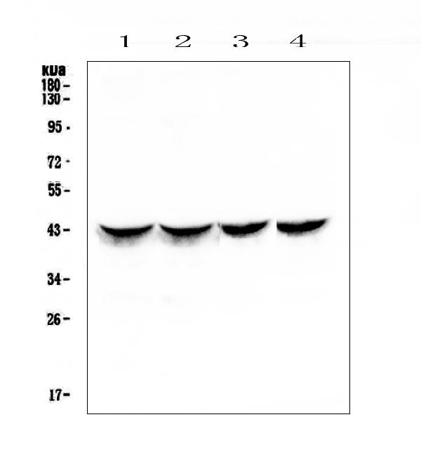 Figure 1. Western blot analysis of Cardiac Troponin T  using anti-Cardiac Troponin T  antibody (A01154-1).  <br>Electrophoresis was performed on a 5-20% SDS-PAGE gel at 70V (Stacking gel) / 90V (Resolving gel) for 2-3 hours. The sample well of each lane was loaded with 50ug of sample under reducing conditions.  <br>Lane 1: rat heart tissue lysates,<br>Lane 2: rat heart tissue lysates,<br>Lane 3: mouse heart tissue lysates,<br>Lane 4: mouse heart tissue lysates.  <br>After Electrophoresis, proteins were transferred to a Nitrocellulose membrane at 150mA for 50-90 minutes. Blocked the membrane with 5% Non-fat Milk/ TBS for 1.5 hour at RT. The membrane was incubated with rabbit anti-Cardiac Troponin T  antigen affinity purified polyclonal antibody (Catalog # A01154-1) at 0.5 μg/mL overnight at 4°C, then washed with TBS-0.1%Tween 3 times with 5 minutes each and probed with a goat anti-rabbit IgG-HRP secondary antibody at a dilution of 1:10000 for 1.5 hour at RT. The signal is developed using an Enhanced Chemiluminescent detection (ECL) kit (Catalog # EK1002) with Tanon 5200 system. A specific band was detected for Cardiac Troponin T  at approximately 43KD. The expected band size for Cardiac Troponin T  is at 36KD.