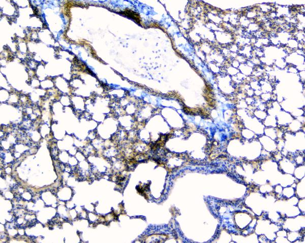 Figure 6. IHC analysis of TEK using anti-TEK antibody (A01274-1).<br>TEK was detected in paraffin-embedded section of mouse lung tissue. Heat mediated antigen retrieval was performed in citrate buffer (pH6, epitope retrieval solution) for 20 mins. The tissue section was blocked with 10% goat serum. The tissue section was then incubated with 1μg/ml rabbit anti-TEK Antibody (A01274-1) overnight at 4°C. Biotinylated goat anti-rabbit IgG was used as secondary antibody and incubated for 30 minutes at 37°C. The tissue section was developed using Strepavidin-Biotin-Complex (SABC)(Catalog # SA1022) with DAB as the chromogen. <br>