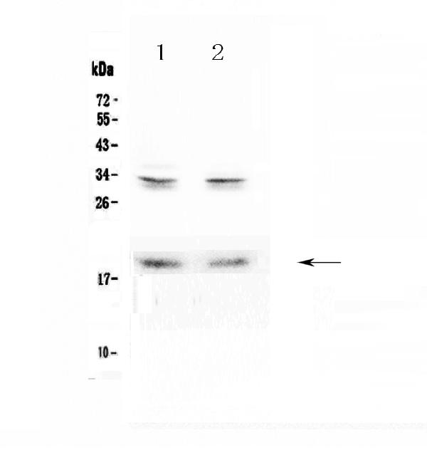 Figure 1. Western blot analysis of Pleiotrophin using anti-Pleiotrophin antibody (A01368-1).  <br>Electrophoresis was performed on a 5-20% SDS-PAGE gel at 70V (Stacking gel) / 90V (Resolving gel) for 2-3 hours. The sample well of each lane was loaded with 50ug of sample under reducing conditions.  <br>Lane 1: rat brain tissue lysates,<br>Lane 2: mouse brain tissue lysates.  <br>After Electrophoresis, proteins were transferred to a Nitrocellulose membrane at 150mA for 50-90 minutes. Blocked the membrane with 5% Non-fat Milk/ TBS for 1.5 hour at RT. The membrane was incubated with rabbit anti-Pleiotrophin antigen affinity purified polyclonal antibody (Catalog # A01368-1) at 0.5 μg/mL overnight at 4°C, then washed with TBS-0.1%Tween 3 times with 5 minutes each and probed with a goat anti-rabbit IgG-HRP secondary antibody at a dilution of 1:10000 for 1.5 hour at RT. The signal is developed using an Enhanced Chemiluminescent detection (ECL) kit (Catalog # EK1002) with Tanon 5200 system. A specific band was detected for Pleiotrophin at approximately 19KD. The expected band size for Pleiotrophin is at 19KD.