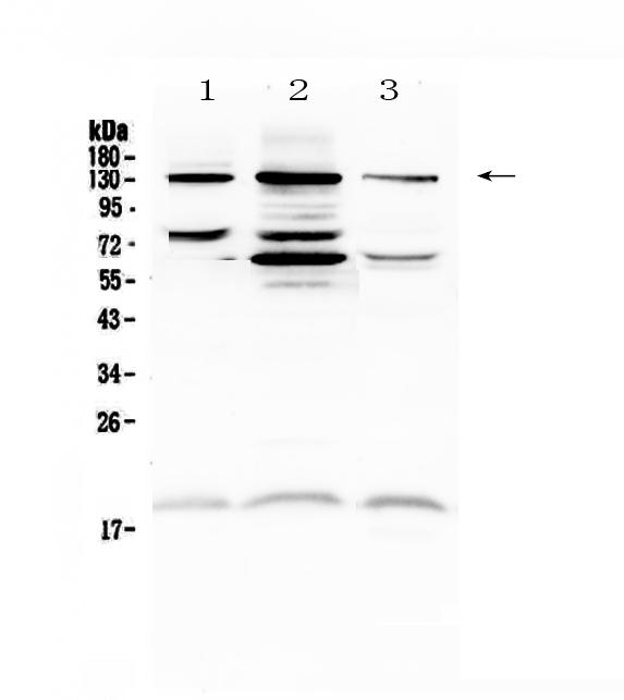 Anti-CD31 Picoband™ antibody