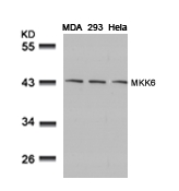 Figure 1. Western blot analysis of MAP2K6 using anti-MAP2K6 antibody (A02011-2).<br>Electrophoresis was performed on a 5-20% SDS-PAGE gel at 70V (Stacking gel) / 90V (Resolving gel) for 2-3 hours. The sample well of each lane was loaded with 50ug of sample under reducing conditions. <br>After Electrophoresis, proteins were transferred to a Nitrocellulose membrane at 150mA for 50-90 minutes. Blocked the membrane with 5% Non-fat Milk/ TBS for 1.5 hour at RT. The membrane was incubated with rabbit anti-MAP2K6 antigen affinity purified polyclonal antibody (Catalog # A02011-2) at 0.5 ug/mL overnight at 4°C, then washed with TBS-0.1%Tween 3 times with 5 minutes each and probed with a goat anti-Rabbit IgG-HRP secondary antibody at a dilution of 1:10000 for 1.5 hour at RT. The signal is developed using an Enhanced Chemiluminescent detection (ECL) kit (Catalog # SA1022) with Tanon 5200 system. A specific band was detected for MAP2K6.