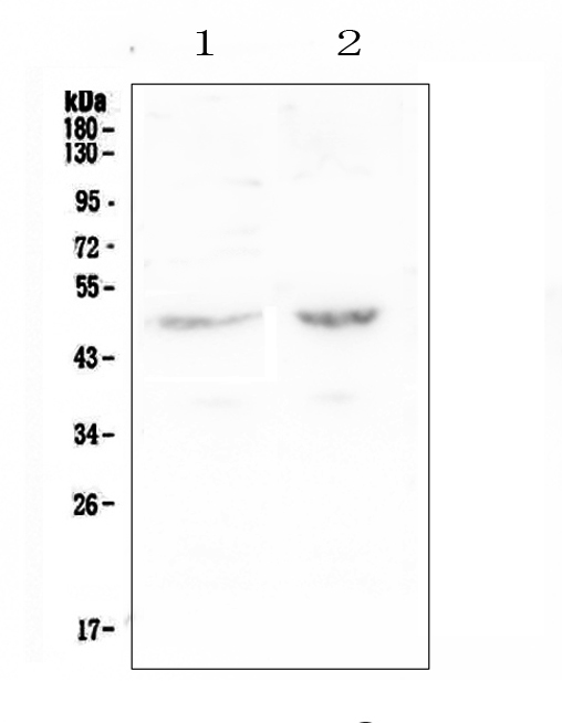 Figure 1. Western blot analysis of PAFAH using anti-PAFAH antibody (A02164-2).  <br>Electrophoresis was performed on a 5-20% SDS-PAGE gel at 70V (Stacking gel) / 90V (Resolving gel) for 2-3 hours. The sample well of each lane was loaded with 50ug of sample under reducing conditions.  <br>Lane 1: human Caco-2 whole cell lysate,<br>Lane 2: human SW620 whole cell lysate.  <br>After Electrophoresis, proteins were transferred to a Nitrocellulose membrane at 150mA for 50-90 minutes. Blocked the membrane with 5% Non-fat Milk/ TBS for 1.5 hour at RT. The membrane was incubated with rabbit anti-PAFAH antigen affinity purified polyclonal antibody (Catalog # A02164-2) at 0.5 μg/mL overnight at 4°C, then washed with TBS-0.1%Tween 3 times with 5 minutes each and probed with a goat anti-rabbit IgG-HRP secondary antibody at a dilution of 1:10000 for 1.5 hour at RT. The signal is developed using an Enhanced Chemiluminescent detection (ECL) kit (Catalog # EK1002) with Tanon 5200 system. A specific band was detected for PAFAH at approximately 50KD. The expected band size for PAFAH is at 50KD.
