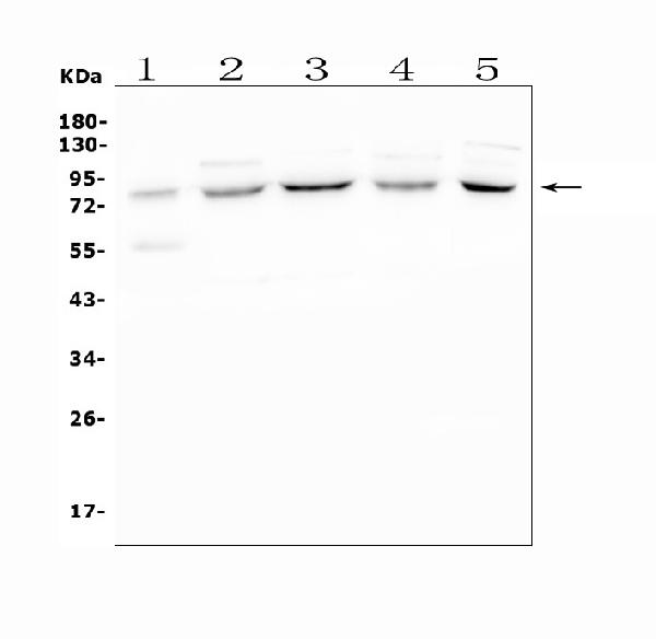 Figure 1. Western blot analysis of APPL1 using anti-APPL1 antibody (A02381).<br>  Electrophoresis was performed on a 5-20% SDS-PAGE gel at 70V (Stacking gel) / 90V (Resolving gel) for 2-3 hours. The sample well of each lane was loaded with 50ug of sample under reducing conditions.  Lane 1: human placenta tissue lysates<br> Lane 2: human HL-60 whole cell lysates<br> Lane 3: human THP-1 whole cell lysates<br> Lane 4: human PC-3 whole cell lysates<br> Lane 5: human Hela whole cell lysates<br>  After Electrophoresis, proteins were transferred to a Nitrocellulose membrane at 150mA for 50-90 minutes. Blocked the membrane with 5% Non-fat Milk/ TBS for 1.5 hour at RT. The membrane was incubated with rabbit anti-APPL1 antigen affinity purified polyclonal antibody (Catalog # A02381) at 0.5 μg/mL overnight at 4°C, then washed with TBS-0.1%Tween 3 times with 5 minutes each and probed with a goat anti-rabbit IgG-HRP secondary antibody at a dilution of 1:10000 for 1.5 hour at RT. The signal is developed using an Enhanced Chemiluminescent detection (ECL) kit (Catalog # EK1002) with Tanon 5200 system. A specific band was detected for APPL1 at approximately 85KD. The expected band size for APPL1 is at 80KD.