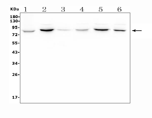 Figure 2. Western blot analysis of APPL1 using anti-APPL1 antibody (A02381).<br>  Electrophoresis was performed on a 5-20% SDS-PAGE gel at 70V (Stacking gel) / 90V (Resolving gel) for 2-3 hours. The sample well of each lane was loaded with 50ug of sample under reducing conditions.  Lane 1: rat thymus tissue lysates<br> Lane 2: rat brain tissue lysates<br> Lane 3: rat spleen tissue lysates<br> Lane 4: mouse thymus tissue lysates<br> Lane 5: mouse brain tissue lysates<br> Lane 6: mouse spleen tissue lysates<br>  After Electrophoresis, proteins were transferred to a Nitrocellulose membrane at 150mA for 50-90 minutes. Blocked the membrane with 5% Non-fat Milk/ TBS for 1.5 hour at RT. The membrane was incubated with rabbit anti-APPL1 antigen affinity purified polyclonal antibody (Catalog # A02381) at 0.5 μg/mL overnight at 4°C, then washed with TBS-0.1%Tween 3 times with 5 minutes each and probed with a goat anti-rabbit IgG-HRP secondary antibody at a dilution of 1:10000 for 1.5 hour at RT. The signal is developed using an Enhanced Chemiluminescent detection (ECL) kit (Catalog # EK1002) with Tanon 5200 system. A specific band was detected for APPL1 at approximately 85KD. The expected band size for APPL1 is at 80KD.