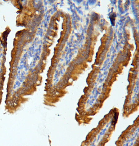 Figure 5. IHC analysis of MUC13 using anti-MUC13 antibody (A02674-2). <br> MUC13 was detected in paraffin-embedded section of mouse intestine tissues. Heat mediated antigen retrieval was performed in citrate buffer (pH6, epitope retrieval solution) for 20 mins. The tissue section was blocked with 10% goat serum. The tissue section was then incubated with 1μg/ml rabbit anti-MUC13 Antibody (A02674-2) overnight at 4°C. Biotinylated goat anti-rabbit IgG was used as secondary antibody and incubated for 30 minutes at 37°C. The tissue section was developed using Strepavidin-Biotin-Complex (SABC)(Catalog # SA1022) with DAB as the chromogen.