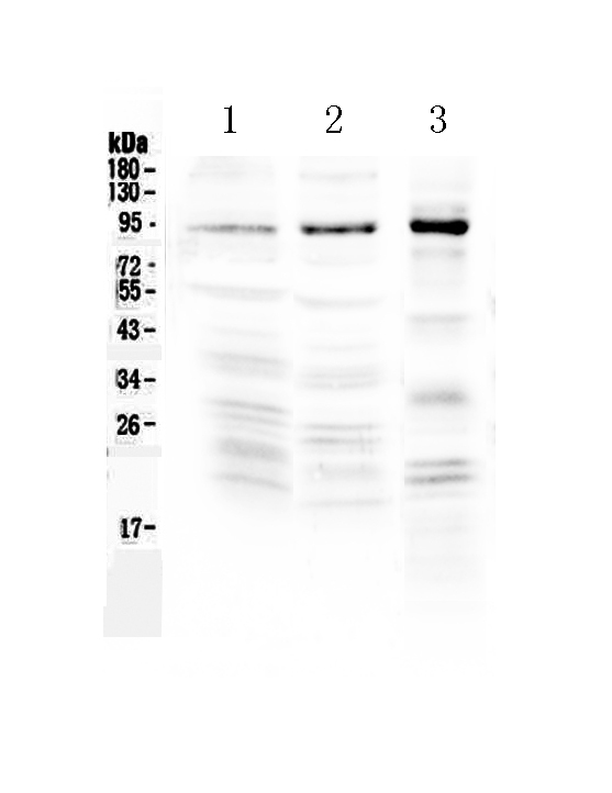<b>Figure 1. Western blot analysis of NPAS2 using anti-NPAS2 antibody (A02688-1).  </b><br>Electrophoresis was performed on a 5-20% SDS-PAGE gel at 70V (Stacking gel) / 90V (Resolving gel) for 2-3 hours. The sample well of each lane was loaded with 50ug of sample under reducing conditions.  <br>Lane 1: rat brain tissue lysate,<br>Lane 2: mouse brain tissue lysate,<br>Lane 3: human COLO-320 whole cell lysate.  <br>After Electrophoresis, proteins were transferred to a Nitrocellulose membrane at 150mA for 50-90 minutes. Blocked the membrane with 5% Non-fat Milk/ TBS for 1.5 hour at RT. The membrane was incubated with rabbit anti-NPAS2 antigen affinity purified polyclonal antibody (Catalog # A02688-1) at 0.5 μg/mL overnight at 4°C, then washed with TBS-0.1%Tween 3 times with 5 minutes each and probed with a goat anti-rabbit IgG-HRP secondary antibody at a dilution of 1:10000 for 1.5 hour at RT. The signal is developed using an Enhanced Chemiluminescent detection (ECL) kit (Catalog # EK1002) with Tanon 5200 system. A specific band was detected for NPAS2 at approximately 92KD. The expected band size for NPAS2 is at 92KD.