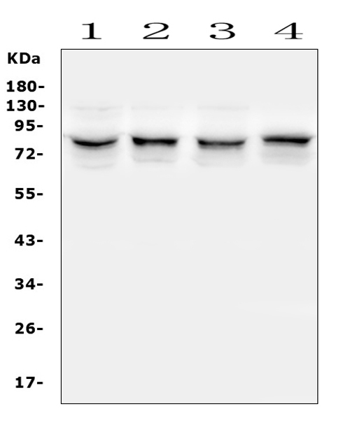 Figure 6. Western blot analysis of TRPV5 using anti-TRPV5 antibody (A03218-1). <br> Electrophoresis was performed on a 5-20% SDS-PAGE gel at 70V (Stacking gel) / 90V (Resolving gel) for 2-3 hours. The sample well of each lane was loaded with 50ug of sample under reducing conditions. <br> Lane 1: monkey COS-7 whole cell lysates, <br> Lane 2: human U-87MG whole cell lysates, <br> Lane 3: human Hela whole cell lysates, <br> Lane 4: human HepG2 whole cell lysates. <br> After Electrophoresis, proteins were transferred to a Nitrocellulose membrane at 150mA for 50-90 minutes. Blocked the membrane with 5% Non-fat Milk/ TBS for 1.5 hour at RT. The membrane was incubated with rabbit anti-TRPV5 antigen affinity purified polyclonal antibody (Catalog # A03218-1) at 0.5 μg/mL overnight at 4°C, then washed with TBS-0.1%Tween 3 times with 5 minutes each and probed with a goat anti-rabbit IgG-HRP secondary antibody at a dilution of 1:10000 for 1.5 hour at RT. The signal is developed using an Enhanced Chemiluminescent detection (ECL) kit (Catalog # EK1002) with Tanon 5200 system. A specific band was detected for TRPV5 at approximately 83KD. The expected band size for TRPV5 is at 83KD.