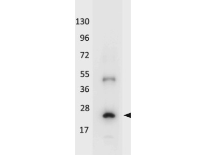 Figure 1. Western blot analysis of IL32 using anti-IL32 antibody (A03286-1).<br>Electrophoresis was performed on a 5-20% SDS-PAGE gel at 70V (Stacking gel) / 90V (Resolving gel) for 2-3 hours. The sample well of each lane was loaded with 50ug of sample under reducing conditions. <br>After Electrophoresis, proteins were transferred to a Nitrocellulose membrane at 150mA for 50-90 minutes. Blocked the membrane with 5% Non-fat Milk/ TBS for 1.5 hour at RT. The membrane was incubated with rabbit anti-IL32 antigen affinity purified polyclonal antibody (Catalog # A03286-1) at 0.5 ug/mL overnight at 4°C, then washed with TBS-0.1%Tween 3 times with 5 minutes each and probed with a goat anti-Rabbit IgG-HRP secondary antibody at a dilution of 1:10000 for 1.5 hour at RT. The signal is developed using an Enhanced Chemiluminescent detection (ECL) kit (Catalog # SA1022) with Tanon 5200 system. A specific band was detected for IL32.