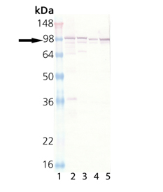 Figure 2. Western blot analysis of CANX using anti-CANX antibody (A03372).<br>Electrophoresis was performed on a 5-20% SDS-PAGE gel at 70V (Stacking gel) / 90V (Resolving gel) for 2-3 hours. The sample well of each lane was loaded with 50ug of sample under reducing conditions. <br>After Electrophoresis, proteins were transferred to a Nitrocellulose membrane at 150mA for 50-90 minutes. Blocked the membrane with 5% Non-fat Milk/ TBS for 1.5 hour at RT. The membrane was incubated with rabbit anti-CANX antigen affinity purified polyclonal antibody (Catalog # A03372) at 0.5 ug/mL overnight at 4°C, then washed with TBS-0.1%Tween 3 times with 5 minutes each and probed with a goat anti-Rabbit IgG-HRP secondary antibody at a dilution of 1:10000 for 1.5 hour at RT. The signal is developed using an Enhanced Chemiluminescent detection (ECL) kit (Catalog # SA1022) with Tanon 5200 system. A specific band was detected for CANX.