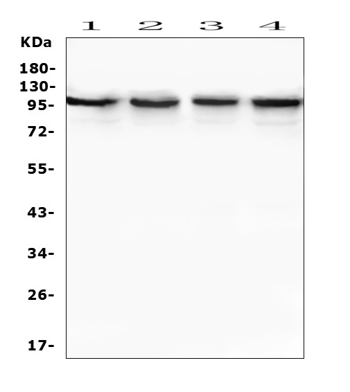 Figure 5. Western blot analysis of TRPV3 using anti-TRPV3 antibody (A03874-1). <br> Electrophoresis was performed on a 5-20% SDS-PAGE gel at 70V (Stacking gel) / 90V (Resolving gel) for 2-3 hours. The sample well of each lane was loaded with 50ug of sample under reducing conditions. <br> Lane 1: human MDA-MB-453 whole cell lysates, <br> Lane 2: human Caco-2 whole cell lysates, <br> Lane 3: human PC-3 whole cell lysates, <br> Lane 4: human Hela whole cell lysates. <br> After Electrophoresis, proteins were transferred to a Nitrocellulose membrane at 150mA for 50-90 minutes. Blocked the membrane with 5% Non-fat Milk/ TBS for 1.5 hour at RT. The membrane was incubated with rabbit anti-TRPV3 antigen affinity purified polyclonal antibody (Catalog # A03874-1) at 0.5 μg/mL overnight at 4°C, then washed with TBS-0.1%Tween 3 times with 5 minutes each and probed with a goat anti-rabbit IgG-HRP secondary antibody at a dilution of 1:10000 for 1.5 hour at RT. The signal is developed using an Enhanced Chemiluminescent detection (ECL) kit (Catalog # EK1002) with Tanon 5200 system. A specific band was detected for TRPV3 at approximately 100KD. The expected band size for TRPV3 is at 91KD.