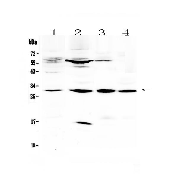 Figure 1. Western blot analysis of VEGFB using anti-VEGFB antibody (A04494-1). <br>Electrophoresis was performed on a 5-20% SDS-PAGE gel at 70V (Stacking gel) / 90V (Resolving gel) for 2-3 hours. The sample well of each lane was loaded with 50ug of sample under reducing conditions. <br>Lane 1: human placenta tissue lysates,<br>Lane 2: rat pancreas tissue lysates,<br>Lane 3: mouse cardiac muscle tissue lysates,<br>Lane 4: mouse skeletal muscle tissue lysates. <br>After Electrophoresis, proteins were transferred to a Nitrocellulose membrane at 150mA for 50-90 minutes. Blocked the membrane with 5% Non-fat Milk/ TBS for 1.5 hour at RT. The membrane was incubated with rabbit anti-VEGFB antigen affinity purified polyclonal antibody (Catalog # A04494-1) at 0.5 ug/mL overnight at 4?? then washed with TBS-0.1%Tween 3 times with 5 minutes each and probed with a goat anti-rabbit IgG-HRP secondary antibody at a dilution of 1:10000 for 1.5 hour at RT. The signal is developed using an Enhanced Chemiluminescent detection (ECL) kit (Catalog # EK1002) with Tanon 5200 system. A specific band was detected for VEGFB at approximately 29KD. The expected band size for VEGFB is at 22KD.