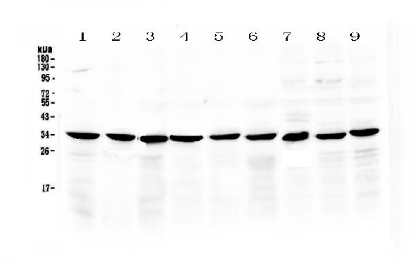 <b>Figure 1. Western blot analysis of COPE using anti-COPE antibody (A04544). </b><br>Electrophoresis was performed on a 5-20% SDS-PAGE gel at 70V (Stacking gel) / 90V (Resolving gel) for 2-3 hours. The sample well of each lane was loaded with 50ug of sample under reducing conditions. <br>Lane 1: rat stomach tissue lysate,<br>Lane 2: rat small intestine tissue lysate,<br>Lane 3: rat pancreas tissue lysate,<br>Lane 4: mouse stomach tissue lysate,<br>Lane 5: mouse small intestine tissue lysate,<br>Lane 6: mouse pancreas tissue lysate,<br>Lane 7: human MCF-7 whole Cell lysatem,<br>Lane 8: human Hela whole Cell lysate,<br>Lane 9: human 22RV1 whole Cell lysate. <br>After Electrophoresis, proteins were transferred to a Nitrocellulose membrane at 150mA for 50-90 minutes. Blocked the membrane with 5% Non-fat Milk/ TBS for 1.5 hour at RT. The membrane was incubated with rabbit anti-COPE antigen affinity purified polyclonal antibody (Catalog # A04544) at 0.5 μg/mL overnight at 4°C, then washed with TBS-0.1%Tween 3 times with 5 minutes each and probed with a goat anti-rabbit IgG-HRP secondary antibody at a dilution of 1:10000 for 1.5 hour at RT. The signal is developed using an Enhanced Chemiluminescent detection (ECL) kit (Catalog # EK1002) with Tanon 5200 system. A specific band was detected for COPE at approximately 34KD. The expected band size for COPE is at 34KD.