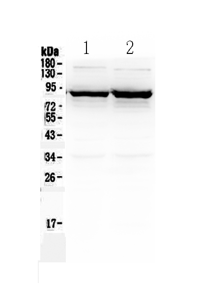 <b>Figure 1. Western blot analysis of SLC6A1 using anti-SLC6A1 antibody (A05109).  </b><br>Electrophoresis was performed on a 5-20% SDS-PAGE gel at 70V (Stacking gel) / 90V (Resolving gel) for 2-3 hours. The sample well of each lane was loaded with 50ug of sample under reducing conditions.  <br>Lane 1: rat brain tissue lysate,<br>Lane 2: mouse brain tissue lysate.  <br>After Electrophoresis, proteins were transferred to a Nitrocellulose membrane at 150mA for 50-90 minutes. Blocked the membrane with 5% Non-fat Milk/ TBS for 1.5 hour at RT. The membrane was incubated with rabbit anti-SLC6A1 antigen affinity purified polyclonal antibody (Catalog # A05109) at 0.5 μg/mL overnight at 4°C, then washed with TBS-0.1%Tween 3 times with 5 minutes each and probed with a goat anti-rabbit IgG-HRP secondary antibody at a dilution of 1:10000 for 1.5 hour at RT. The signal is developed using an Enhanced Chemiluminescent detection (ECL) kit (Catalog # EK1002) with Tanon 5200 system. A specific band was detected for SLC6A1 at approximately 88KD. The expected band size for SLC6A1 is at 67KD.