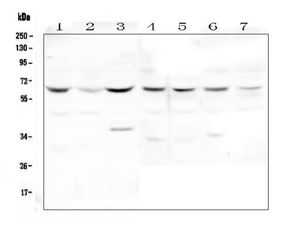 Figure 1. Western blot analysis of DOK7 using anti-DOK7 antibody (A05165-1). <br>Electrophoresis was performed on a 5-20% SDS-PAGE gel at 70V (Stacking gel) / 90V (Resolving gel) for 2-3 hours. The sample well of each lane was loaded with 50ug of sample under reducing conditions. <br>Lane 1: human Hela whole cell lysates,<br>Lane 2: human PC-3 whole cell lysates,<br>Lane 3: human HL-60 whole cell lysates,<br>Lane 4: rat skeletal muscle tissue lysates,<br>Lane 5: rat heart tissue lysates,<br>Lane 6: mouse skeletal muscle tissue lysates,<br>Lane 7: mouse heart tissue lysates. <br>After Electrophoresis, proteins were transferred to a Nitrocellulose membrane at 150mA for 50-90 minutes. Blocked the membrane with 5% Non-fat Milk/ TBS for 1.5 hour at RT. The membrane was incubated with rabbit anti-DOK7 antigen affinity purified polyclonal antibody (Catalog # A05165-1) at 0.5 μg/mL overnight at 4°C, then washed with TBS-0.1%Tween 3 times with 5 minutes each and probed with a goat anti-rabbit IgG-HRP secondary antibody at a dilution of 1:10000 for 1.5 hour at RT. The signal is developed using an Enhanced Chemiluminescent detection (ECL) kit (Catalog # EK1002) with Tanon 5200 system. A specific band was detected for DOK7 at approximately 65KD. The expected band size for DOK7 is at 53KD.