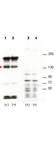 Figure 2. Western blot analysis of SIPA1 using anti-SIPA1 antibody (A05549).<br>Electrophoresis was performed on a 5-20% SDS-PAGE gel at 70V (Stacking gel) / 90V (Resolving gel) for 2-3 hours. The sample well of each lane was loaded with 50ug of sample under reducing conditions. <br>After Electrophoresis, proteins were transferred to a Nitrocellulose membrane at 150mA for 50-90 minutes. Blocked the membrane with 5% Non-fat Milk/ TBS for 1.5 hour at RT. The membrane was incubated with rabbit anti-SIPA1 antigen affinity purified polyclonal antibody (Catalog # A05549) at 0.5 ug/mL overnight at 4°C, then washed with TBS-0.1%Tween 3 times with 5 minutes each and probed with a goat anti-Rabbit IgG-HRP secondary antibody at a dilution of 1:10000 for 1.5 hour at RT. The signal is developed using an Enhanced Chemiluminescent detection (ECL) kit (Catalog # SA1022) with Tanon 5200 system. A specific band was detected for SIPA1.